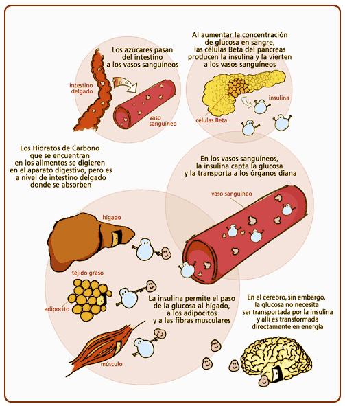 ciclo glucosa tejidos