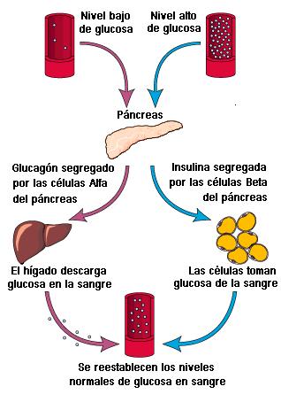 ciclo insulina-glucosa