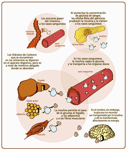 ciclo-glucosa-tejidos